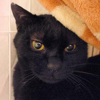 びびり黒猫☆百之介(もものすけ)くん 1才半