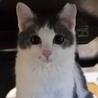 グレーぶちボブティルの美猫さん
