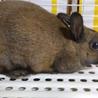 うさぎ ( ミニウサギ ) 9か月くらい 女の子
