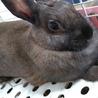 うさぎ ( ミニウサギ ) 9か月くらい 女の子 サムネイル2