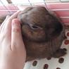 うさぎ ( ミニウサギ ) 9か月くらい 女の子 サムネイル3