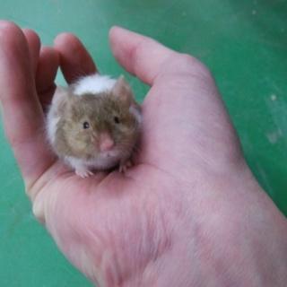 テディマウスの里親募集します。