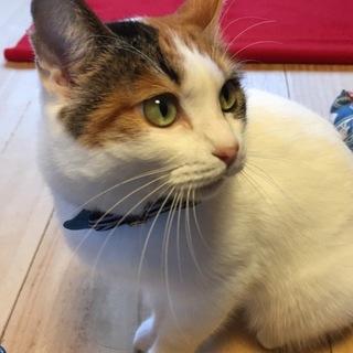 ふわふわ美猫のミケ子…3歳