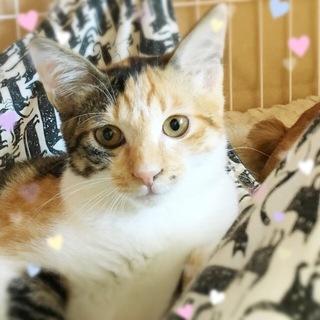 7ケ月☆可愛い三毛猫のアルミンちゃん