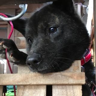 甲斐犬の女の子「ケンピちゃん」2歳