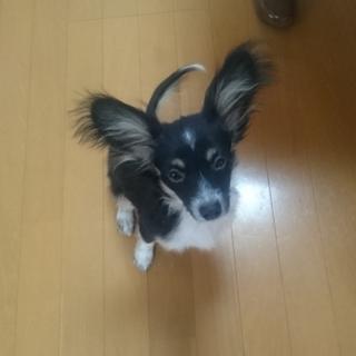 パピヨン仔犬5ヶ月