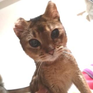 アビシニアン子猫♀フォーン