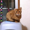 アビシニアン子猫♀レッド