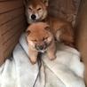 柴雑種子犬