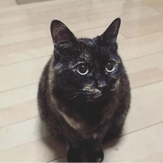 亡き義理母の愛猫 13歳の姉妹猫 サビ猫