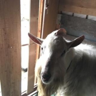 山羊ザーネン系