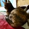 綺麗なマーブル模様のサビ猫1歳女の子 サムネイル2