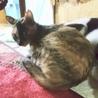 綺麗なマーブル模様のサビ猫1歳女の子 サムネイル3