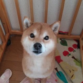 可愛い柴犬です。お願いします。