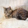 甘えん坊3ヶ月ゴロゴロ大音量抱っこ猫キジトラサビ琴 サムネイル2