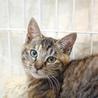 甘えん坊3ヶ月ゴロゴロ大音量抱っこ猫キジトラサビ琴 サムネイル4