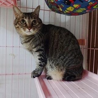 丸顔のキジトラ女の子 大人の猫さん