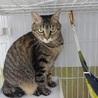 丸顔のキジトラ女の子 大人の猫さん サムネイル2