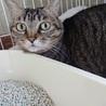 丸顔のキジトラ女の子 大人の猫さん サムネイル3