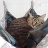 丸顔のキジトラ女の子 大人の猫さん サムネイル4