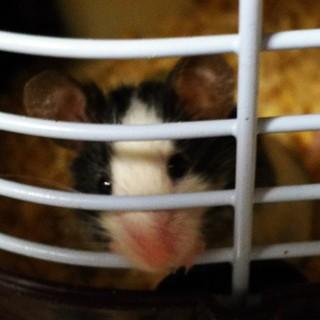 【急募】パンダマウス♂5ヶ月