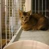 純血のアビシニアンのような子猫(お一人住まい向き) サムネイル2