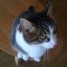 2歳のキジシロの雄猫