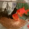 金魚2匹の里親を募集します