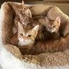 茶トラ子猫4姉妹♪ 4ヶ月のおてんば美少女たち