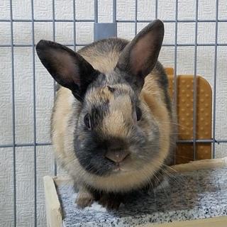 ウサギの里親を募集します。