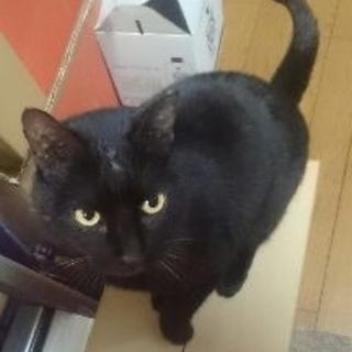 お願いします。とても甘えん坊なオスの黒猫です