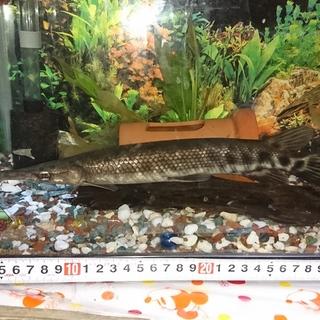 本年2月に特定外来生物に認定される予定の古魚です。