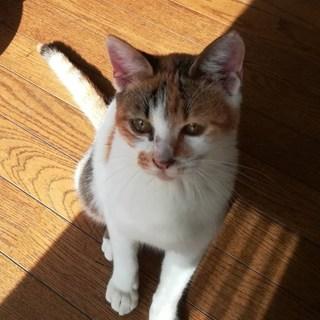 泉州猫:小さめキジ三毛 メス 仮名:ふくちゃん