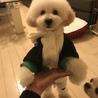 甘えん坊 トイプードル子犬