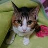 怖がりな美猫~ミルク 8歳 トライアル準備中