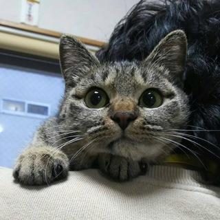 人慣れした大人しいキジ猫レイちゃん☆避妊済