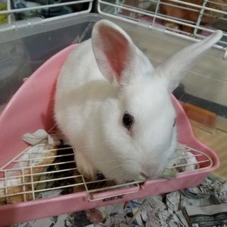 白ミニウサギちゃん 女の子です