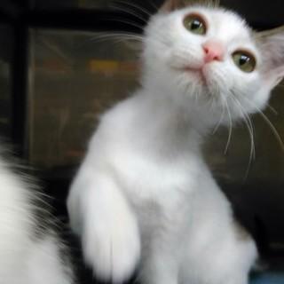 可憐な顔つきの白キジ子猫