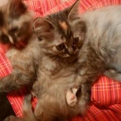 子猫 2か月三匹と親猫との暮らし ①