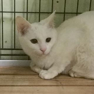 白い子猫メス