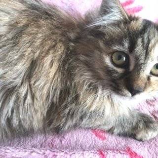 長毛子猫女の子、おっとり美猫です