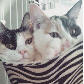 双子の三毛2匹一緒に!