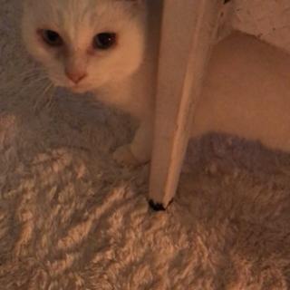 小柄な白猫