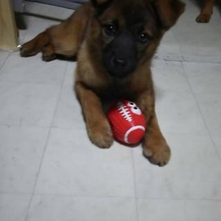 生後2か月の子犬の里親募集
