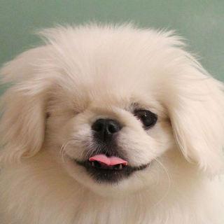 【募集一時停止】綿菓子のような真っ白い仔犬のぺきぞ