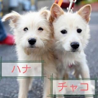 子やぎのように可憐なテリア系ミックスの子犬たち