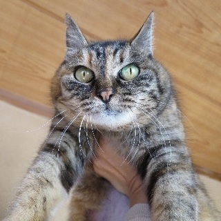 サビ猫サフラン