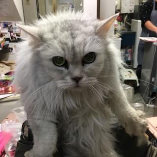 ダイナ★とてもきれいな毛並みのラガマフィン★犬猫◎