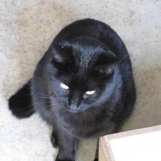 黒猫、オスの里親募集