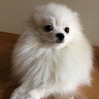 ポメラニアン の仔犬